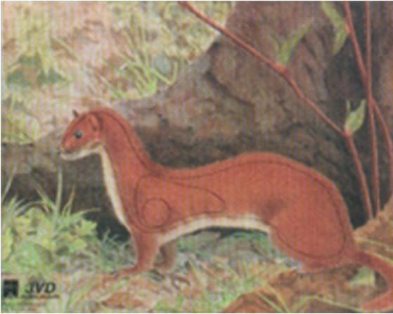 Tierbildauflage Hermelin